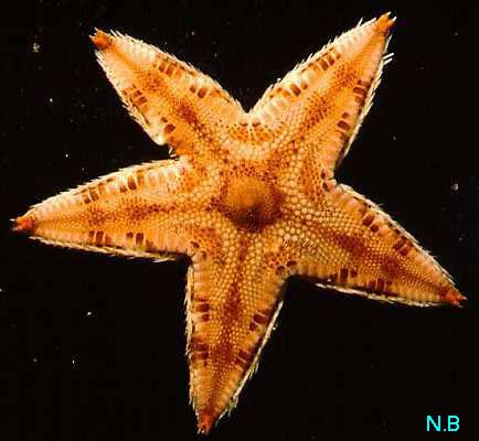 Echinodermata Asteroidea-Sea Star