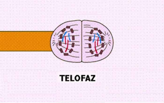 Телофаза фото